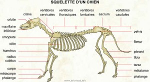 070 Squelette chien